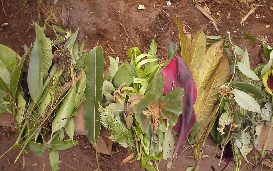 Medicinal plants gathered by traditional healers.